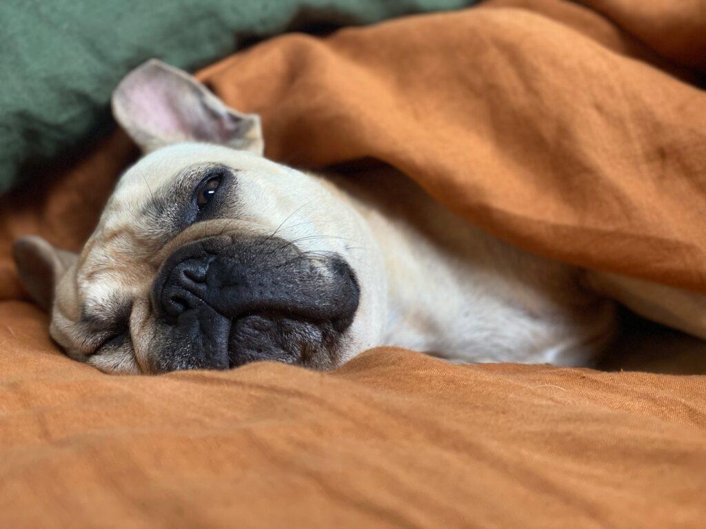 Foto de bulldog francés metido dentro de una cama